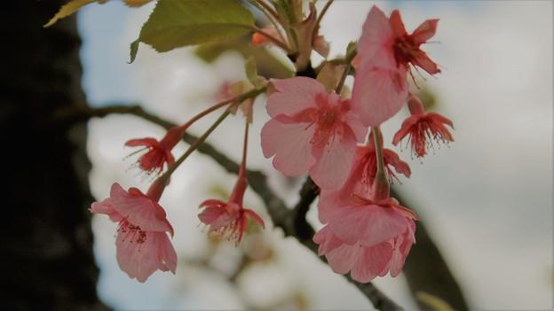 名残の河津桜