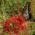 Photos: 蝶と彼岸花