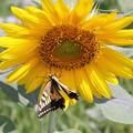 向日葵と蝶