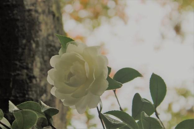 Photos: 白い山茶花