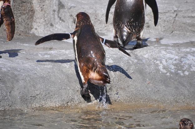 a_フンボルトペンギン 180616_385