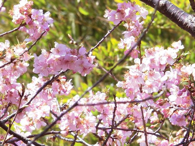 河津桜(君津)