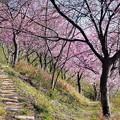Photos: 桜の小道