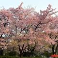 風祭は桜祭り