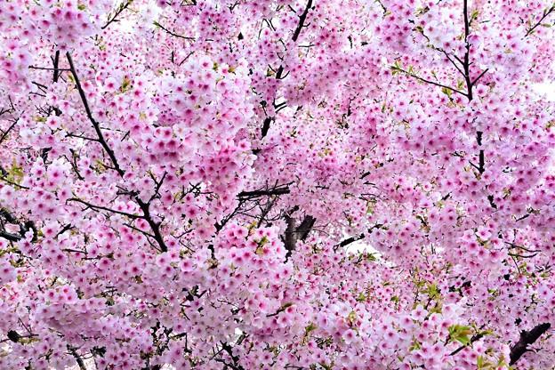 風祭は桜まつり