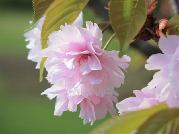 鎌足桜 (3)
