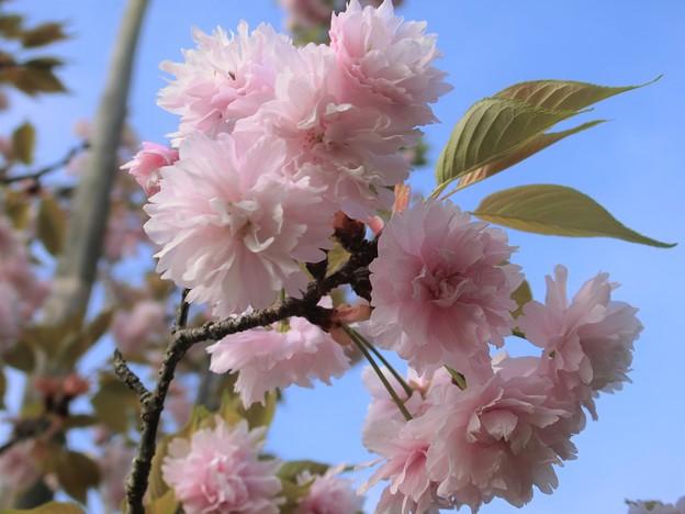 鎌足桜 (1)