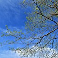 Photos: 青空に新緑