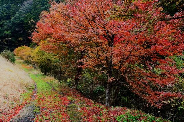 雨の日の紅葉 (2)