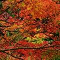 Photos: 雨の日の紅葉 (3)