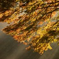 雨上がりの紅葉 (1)