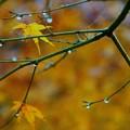 雨上がりの紅葉 (3)