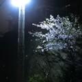四丁目の夜桜