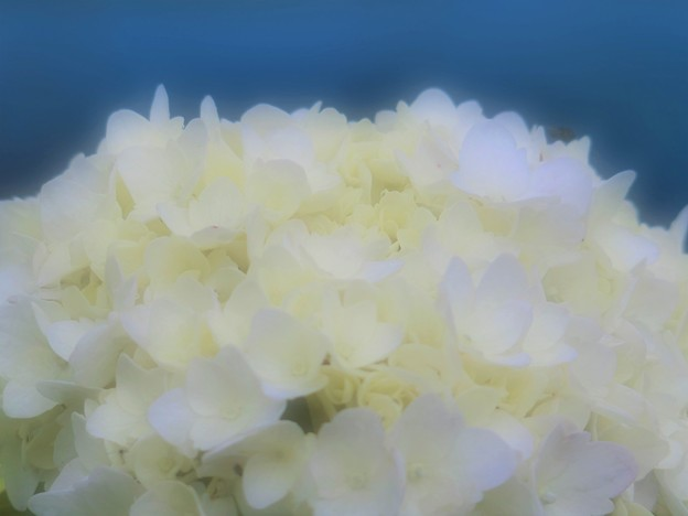Photos: 紫陽花の幻影