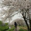 Photos: 桜道