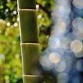 Photos: 竹の秋