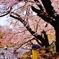 Photos: 桜の時