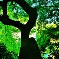 Photos: 常緑樹