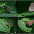 シジミ蝶  オオミドリシジミ♀