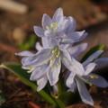 写真: シラーシビリカ・チオノドクサ(原種)