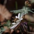 写真: アズマイチゲ