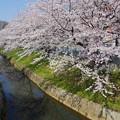 写真: 櫻咲く♪