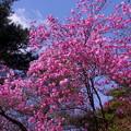 写真: アカヤシオ