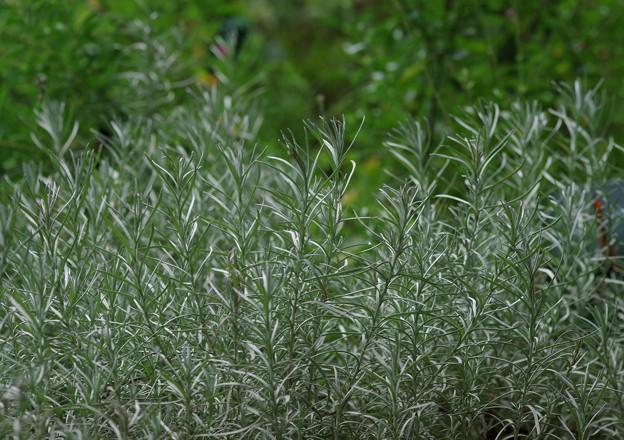 カレープランツ   葉