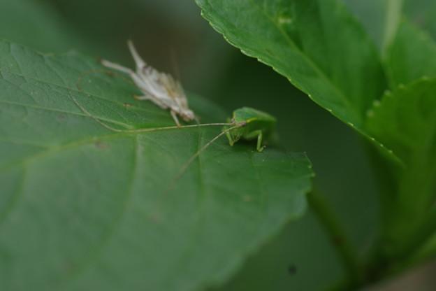 昆虫 -2   アオマツムシ