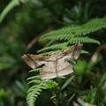昆虫  ツマジロエダシャク
