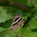 写真: 蛾  ヤガ科の ナガクロクチバ
