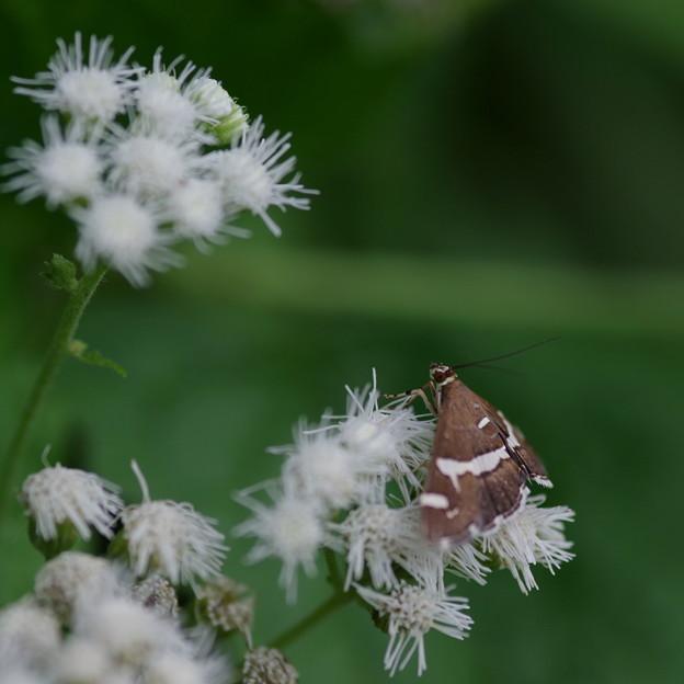 蛾  シロオビノメイガ
