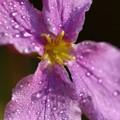 写真: 紫ハナナ