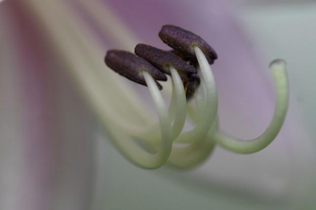 写真: ギボウシ~~1寸分からないね~うっすりと葉の色