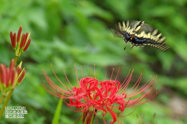 彼岸花とアゲハチョウ (3)