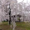平和町桜ネックレス (3)