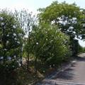 ムクゲ品種園 (1)