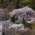 清内路・黒船桜 (1)