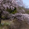 清内路・黒船桜 (3)