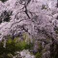 清内路・黒船桜 (39)