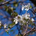 十月桜 (1)