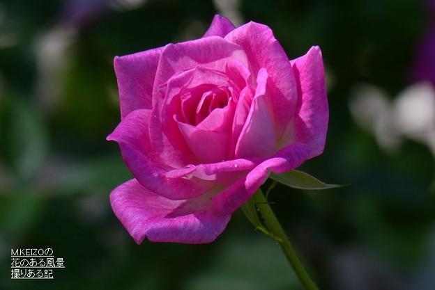 薔薇、ブリリアント・ピンク・アイスバーグ
