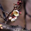 植木センター (1)金筋梅