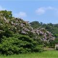 森林公園 (1)サルスベリ
