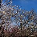 南側梅品種園