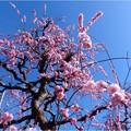 梅香園のしだれ梅 (2)