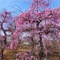 梅香園のしだれ梅 (3)
