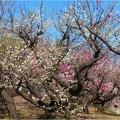 梅品種見本園