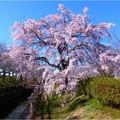 桜ネックレス (10)