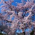 桜ネックレス (12)